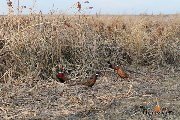 Pheasant Hunting Season Opener Dates